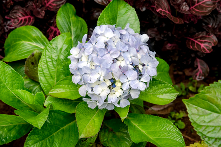 Blue Purple Enchantress Hydrangea Flower Blooming with Ruby Blue Black Flowerheads. Hydrangea macrophylla. Selective Focus. 免版税图像