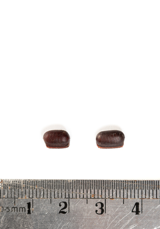 Two Cockroach Eggs and Stainless Steel Ruler in Centimeter Metric System To Measure Its Size and Lenght. Brown Roach Eggs Hard Casing Capsule or Ootheca on White Background.