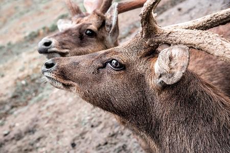 Two Brown Deer Looking Up and Try To Kiss. Deer with Antler. Selective Focus. Standard-Bild - 123491100