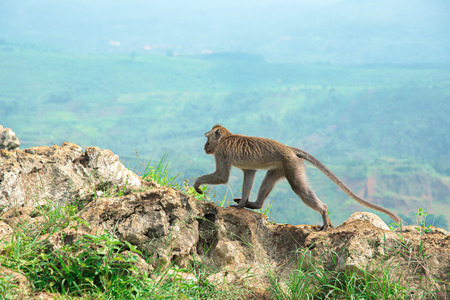 Monkey on Stone Garden Citatah. Long Tailed Macaque Monkey Walking on The Top Stone Edge of High Mountain Cliff with Blur Green Valley Landscape Behind. 免版税图像