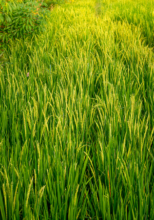 Lush Green Organic Rice Field During Golden Sunrise in The Morning. Selective Focus.