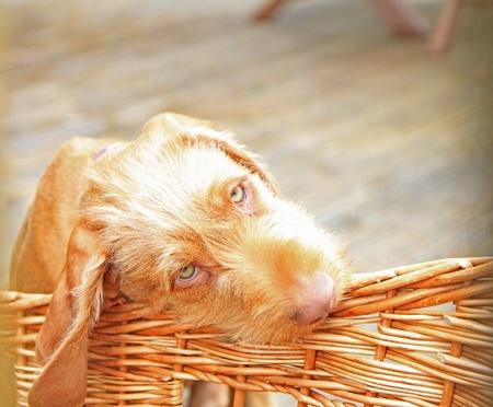 hungarian wirehaired vizsla dog