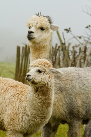A pair of Alpaca
