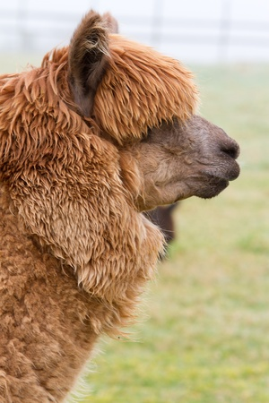 A profile of a brown Alpaca photo