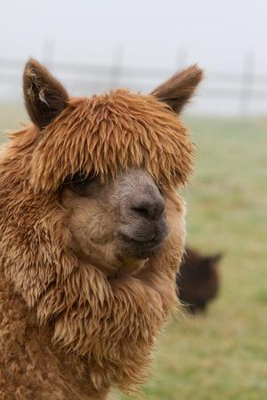 A hairy brown Alpaca photo