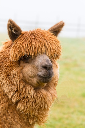 A brown Alpaca photo
