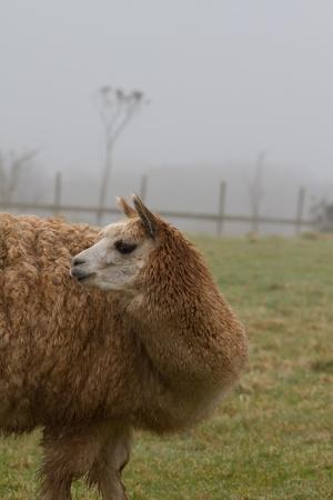 A brown Alpaca looking backwards photo