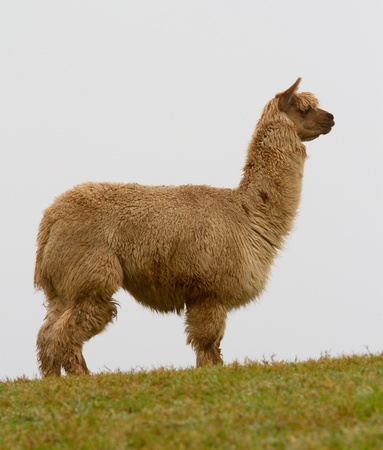 An Alpaca on the toip of a hill photo