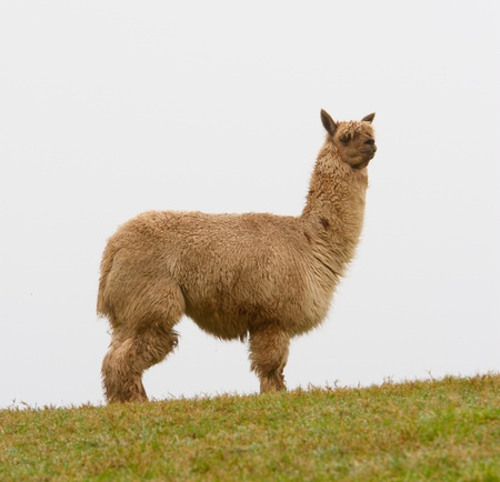 A hairy Alpaca  photo