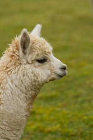Aside view of an Alpaca  photo