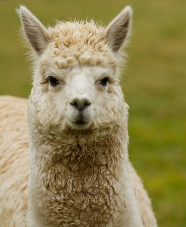 A white Alpaca looking at the camera photo