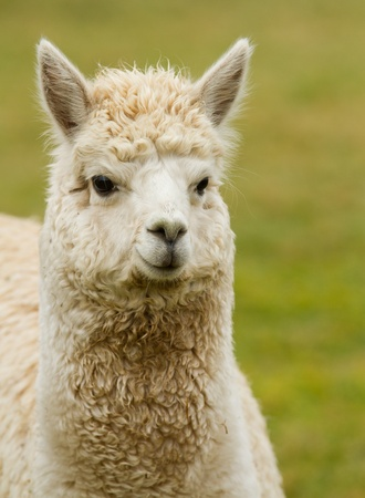 A white Alpaca  photo