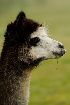 An Alpaca with a black, white and grey head photo