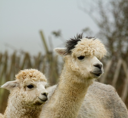Alpaca mother and child ooking the same way