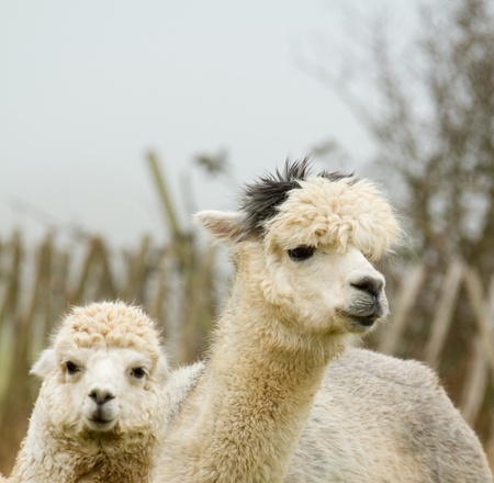 Alpaca mother and cute baby