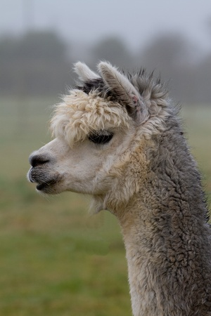 A white and grey alpaca photo