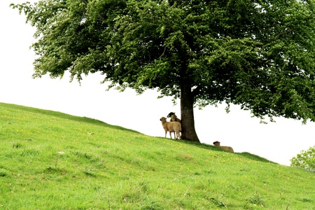 Sheep under the tree photo