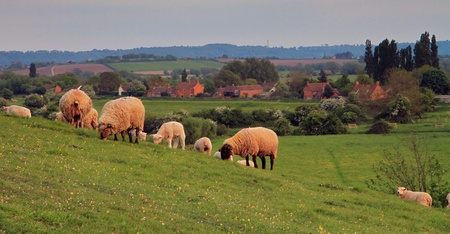 Sheep peacefully grazing on the pasture at Burrow Mump in Somerset photo