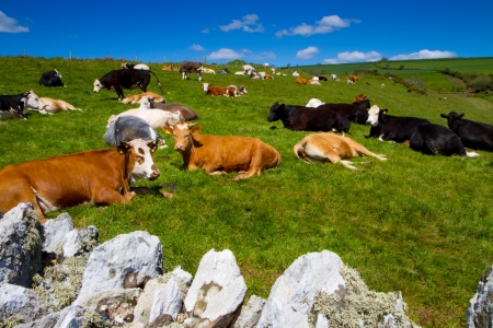 Cows grazing in an English field under beautiful blue sky photo