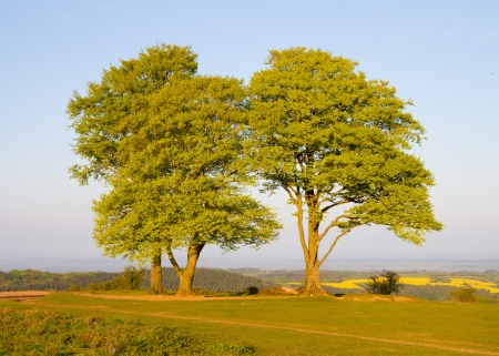 quantock hills: Beech trees on Cothelstone Hill in the Quantocks