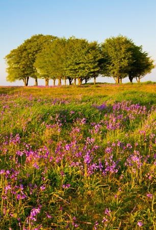 Bluebells and beech trees on the Quantock Hills photo