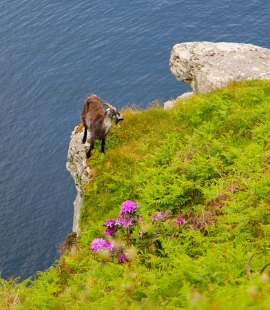 cliff edge: On the sheer cliff edge a wild Northumberland goat