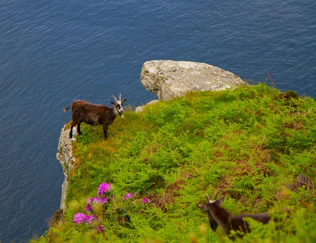 On the cliff edge a wild Northumberland goat photo