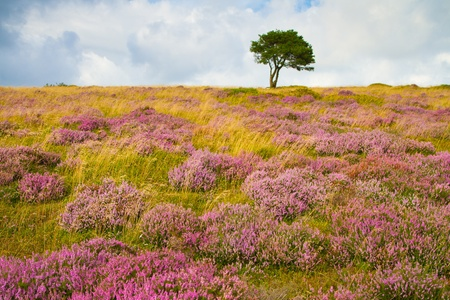 Purple heather and a lonely tree on the Quantock Hills in Somerset