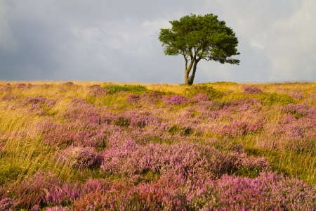 Single tree and purple heather on the Quantock Hills in Somerset photo