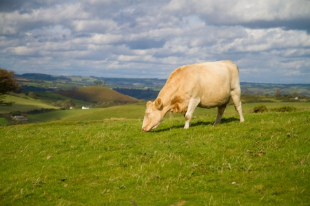 heffer: Cow grazing in an English field
