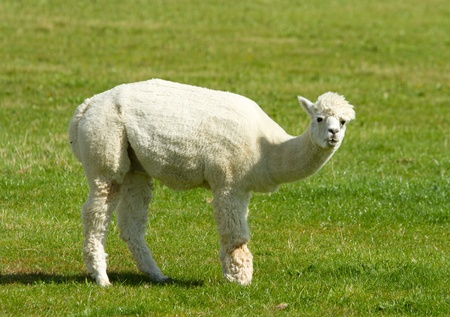 Recently shorn Alpaca in a field photo