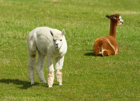 Alpacas in a field photo