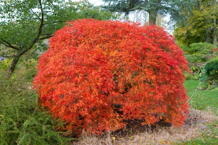 Japanese Maple Acer Pazmatum tree from the dissectum atropurpureum group photo