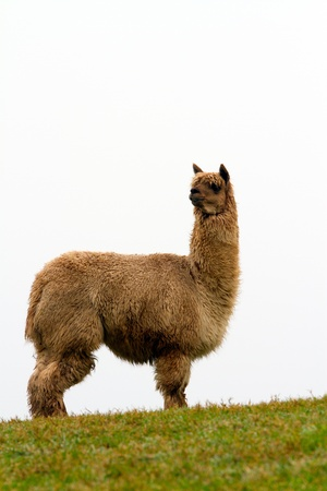 Brown Alpaca looking to the rear photo