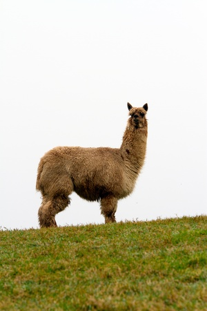 Brown Alpaca in profile photo