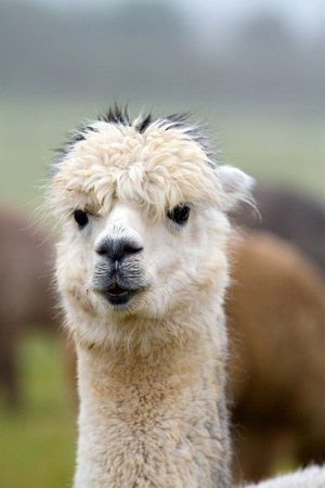 Alpaca looking to camera photo