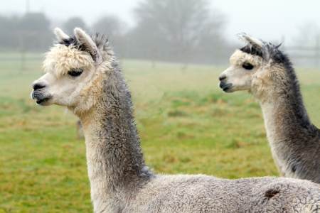 Pair of Alpacas photo