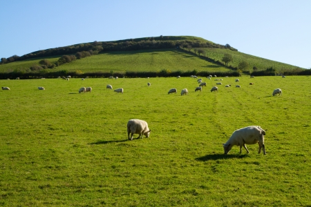 brent: Sheep grazing on Brent Knoll Somerset Stock Photo