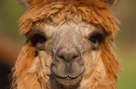 Brown Alpaca portrait head and eyes photo