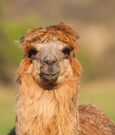 Brown Alpaca female with ears down Stock Photo - 17313249