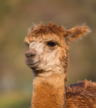 Brown Alpaca female with ears up photo