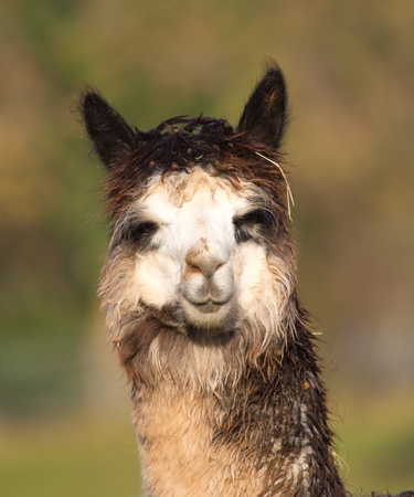 Alpaca in portrait photo