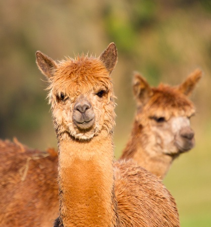 Two brown female Alpacas Stock Photo