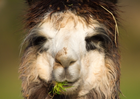 Alpaca face and head in portrait photo