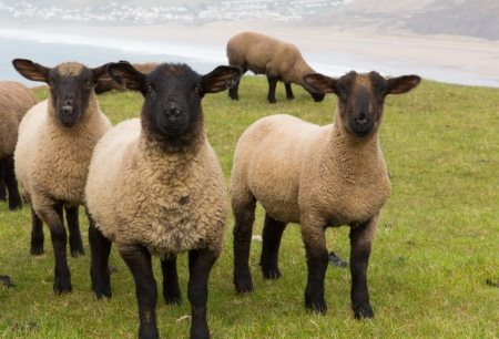 Black faced sheep photo
