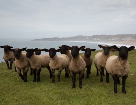 Row of sheep with black legs and face