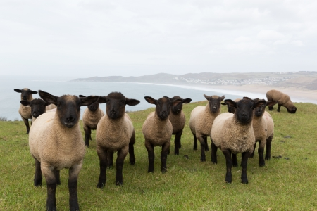Sheep with black face and legs Stock Photo