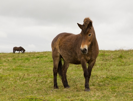 exmoor: Exmoor Pony Quantock Hills Somerset England UK Stock Photo