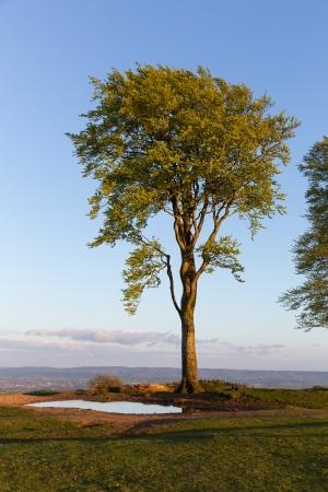 beech tree: Beech tree and blue sky