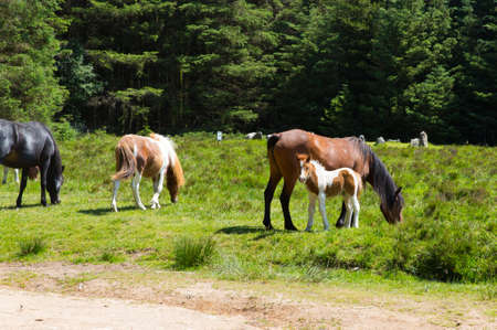 Dartmoor Ponies Devon in the National Park at Soussons Cairn Circle a Bronze Age burial site and tourist attraction photo